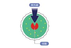 包丁殺菌庫では、殺菌効果の高い波長の253.7nmの紫外線を使い、ウイルスや菌のDNA情報(核酸)に直接損傷を与えます。細胞内の核酸に紫外線が照射されると、核酸が化学変化を起こし新陳代謝が障害され増殖能力を失います。更に照射量が多くなると、原形質が破壊され死滅します。紫外線殺菌庫では、収納物の表面に付着したあらゆる菌種を死滅させます。